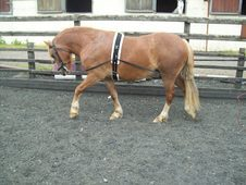 13. 1hh Welsh Cob Section C For Sale.