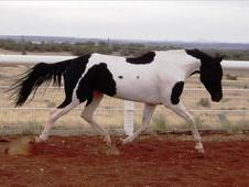 Flashy Black & White Andalusian Paint Mare