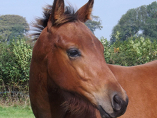 Quarter Horse Foals For Sale