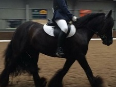Amazing traditional mare for sale