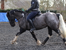 14. 1hh Expressive Reg. PB Welsh, rising 8, Coloured Mare - Genui...