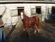 3 year old chestnut filly