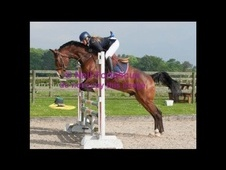 Stunning and Talented Bay Gelding