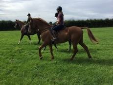 17.2 stunning 8 year old chestnut gelding