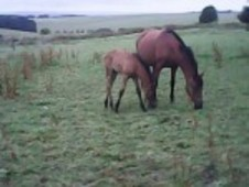 Pre Mare Excellent Bloodlines, With 5 Month Colt Foal