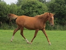 Thoroughbred Chestnut Mare