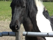Coloured horse - 5 yrs 12.1 hh Piebald - East Sussex