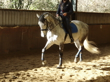 Talented Lusitano x Thoroughbred Mare