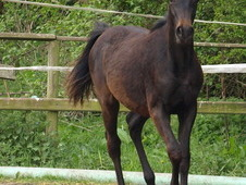 beautiful partbred arab yearling