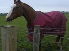 For Sale Beautiful Chestnut Mare
