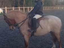 Celyns Rosita 12hh Welsh Section A Pony