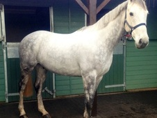 Eventers horse - 8 yrs 17.0 hh Dapple Grey - Gloucestershire