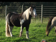13. 1h Pony Cob X Breed Geilding