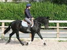 Hunters Horse - 11 Yrs 15. 2 Hh Dark Bay - West Yorkshire