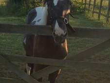 For sale spotty filly