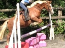 Crumble 12. 2hh 4yrs