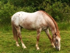 Stunning Appaloosa with potential
