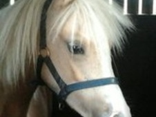 Mountain & Moorland horse - 2 yrs 6 mths 12.2 hh Palomino - Suffolk