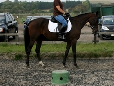 Hunting Or Eventing Project 3 Years Old
