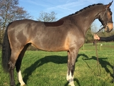 Henry, 16. 3H, 7YO, Bay Dutch Gelding