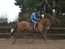 All Rounder horse - 10 yrs 15.2 hh Chestnut - Sussex