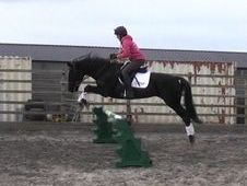 Beautiful Black 15. 2hh All Rounder