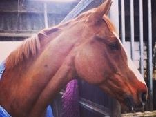 Ish Gelding For Sale