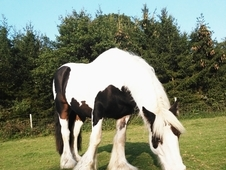 15hh 9years old gelding cob