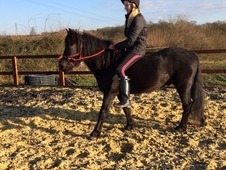 Black, 13hh, New Forest gelding. 5yrs.