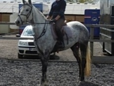 All Rounder horse - 6 yrs 15.1 hh Grey - Wiltshire