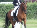Dressage horse - 15 yrs 14.2 hh Bay - East Sussex