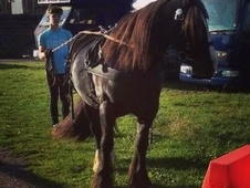 Ride And Drive Black Welsh Cob Good Golly Miss Molly £1, 700 Ono