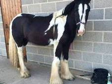 Victor lovely young cob for sale