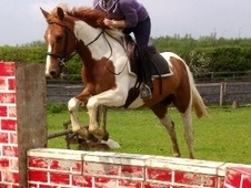 All Rounder horse - 5 yrs 14.2 hh Skewbald - Northamptonshire