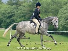 14. 2hh welsh b/ arab blue roan gelding