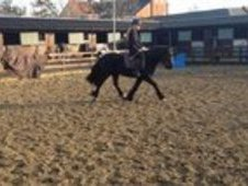 allrounder 13'3hh 4 year old black mare