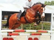 8yrs Bay Mare Allrounder 16hh