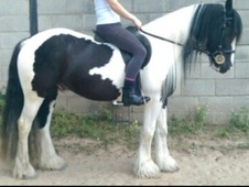 14. 2 Traditional Cob Rising 5yrs Gelding