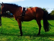 15. 1 Approx Genuine Bay Thoroughbred For Sale