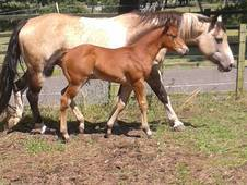 14hh Tobiano Paint Mare