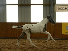 All Rounder horse - 1 yr 2 mths 16.0 hh Appaloosa - Surrey