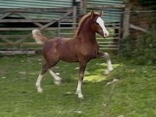 Welsh Cob Filly, Danaway Bloodlines