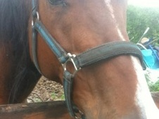 Mare 16hh Thoroughbred bay 11 yes old