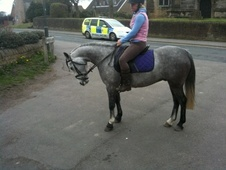 All Rounder horse - 6 yrs 8 mths 13.2 hh Grey - Derbyshire