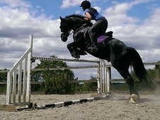 Stunning 15hh Welsh Cob Section D Gelding