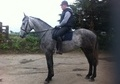 All Rounder horse - 4 yrs 16.0 hh Dapple Grey - West Yorkshire