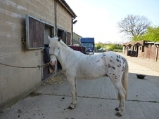 All Rounder horse - 6 yrs 4 mths 12.1 hh Appaloosa - West Yorkshire