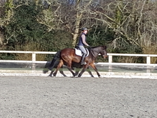 Superb New Forest Pony 14. 2hh