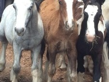**6 Month Old Cob Foals For Sale**