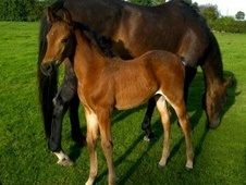 Potential young sports horses horse - 10 mths 16.0 hh Bright Bay ...